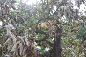 Auch die Natur hat gelitten: der Bratapfelbaum
